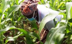 Young Kenyan Farmer Remains Resilient To Beat Food Value Chain Break Amid Virus Outbreak