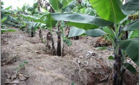 Climate Smart banana production brings cash, respect and creates opportunities for Mr Mbidde's family